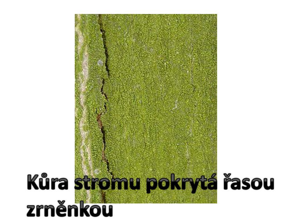 Kůra stromu pokrytá řasou zrněnkou