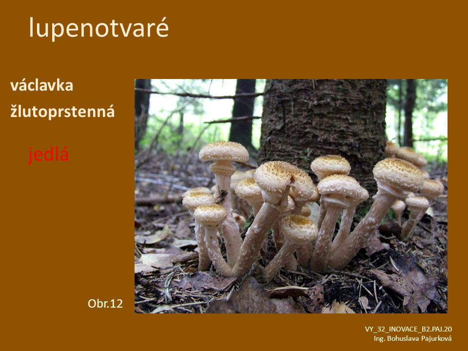 lupenotvaré jedlá václavka žlutoprstenná Obr.12