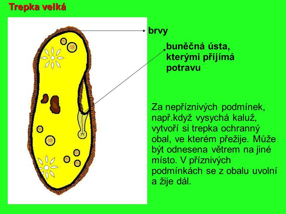 Trepka velká brvy. buněčná ústa, kterými přijímá. potravu. Za nepříznivých podmínek, např.když vysychá kaluž,