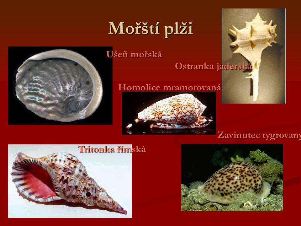 Mořští plži Ušeň mořská Ostranka jaderská Homolice mramorovaná
