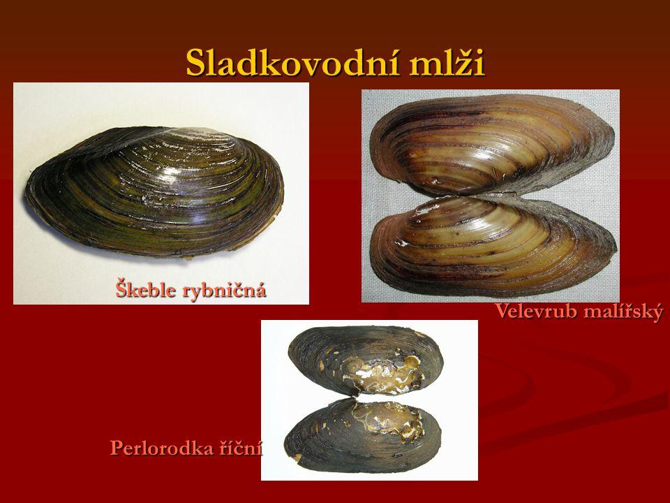 Sladkovodní mlži Škeble rybničná Velevrub malířský Perlorodka říční