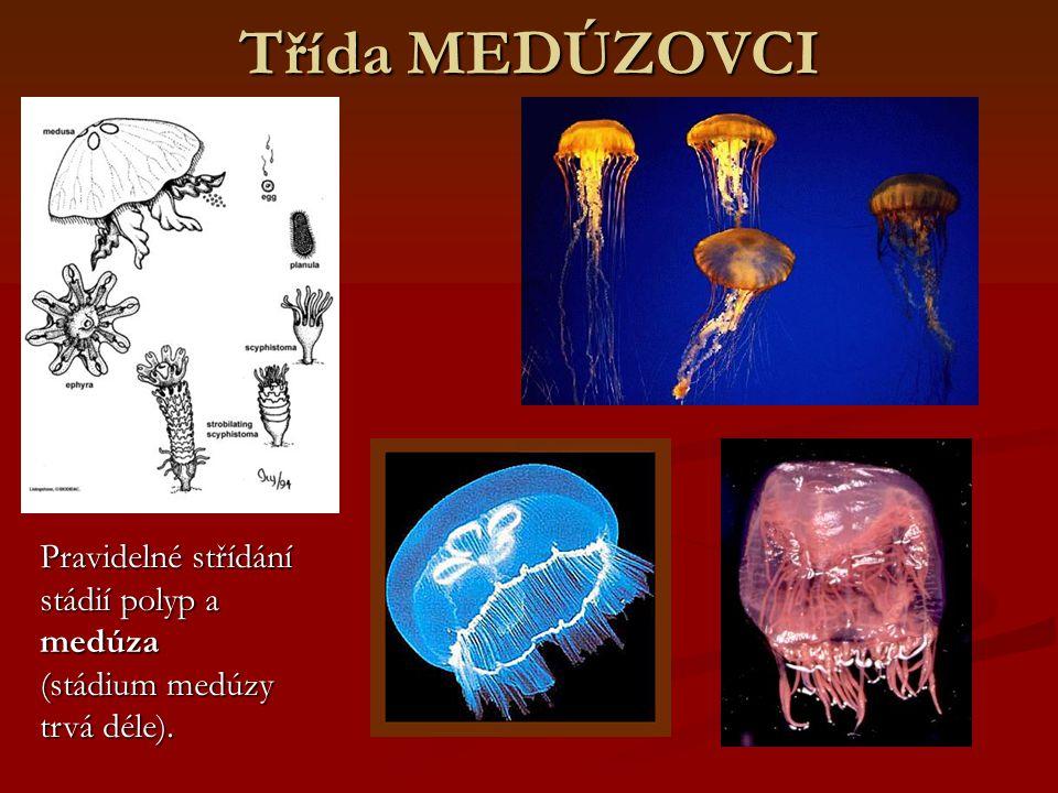 Třída MEDÚZOVCI Pravidelné střídání stádií polyp a medúza