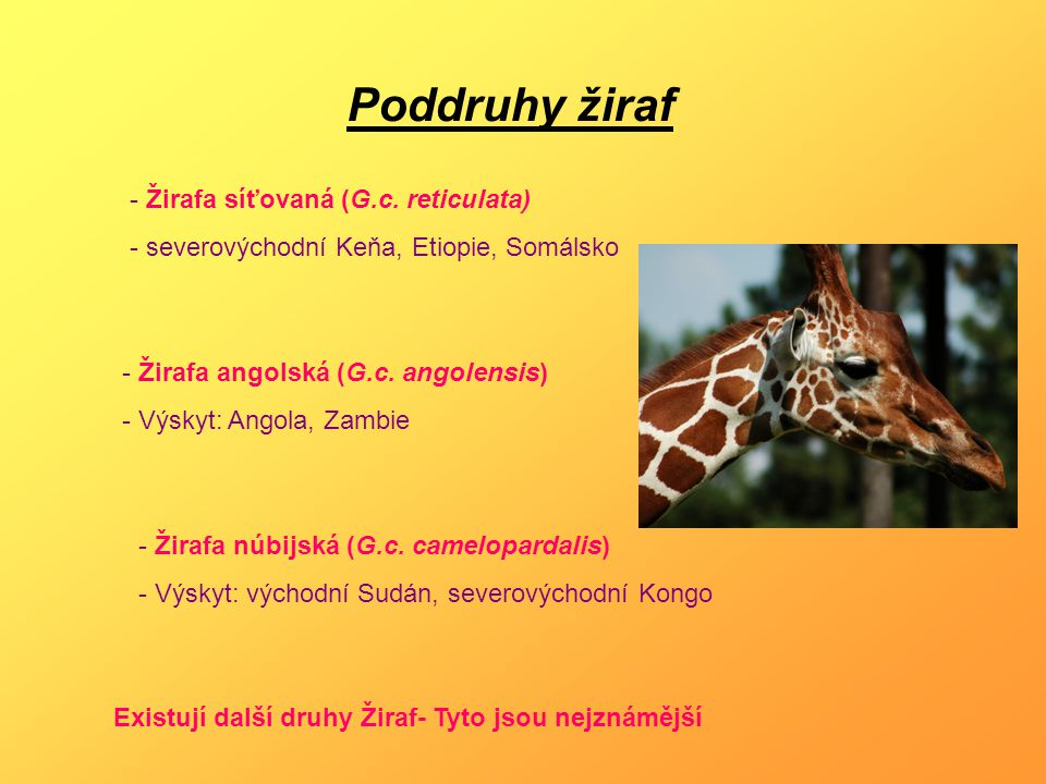 Poddruhy žiraf - Žirafa síťovaná (G.c. reticulata)