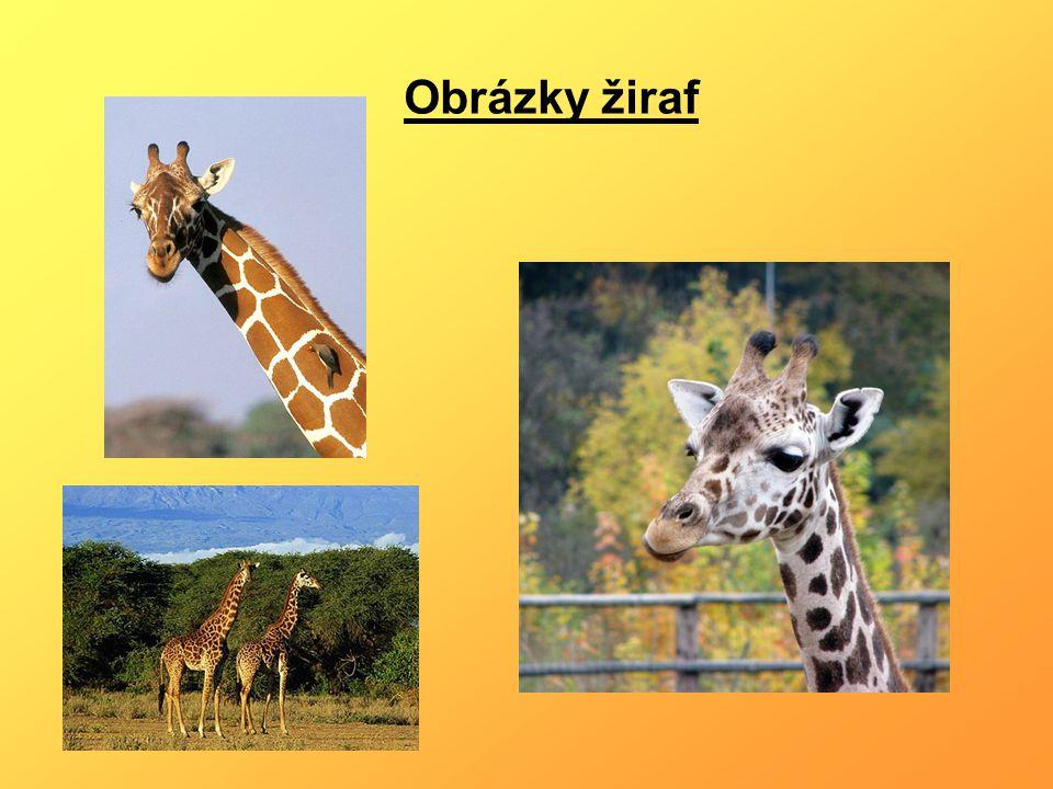 Obrázky žiraf