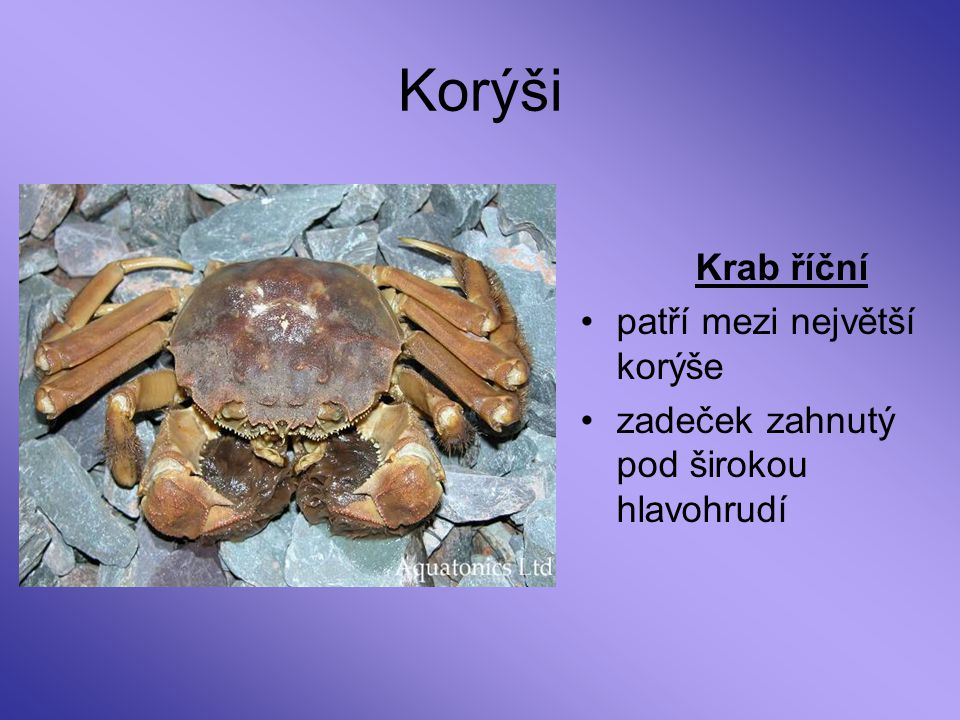Korýši Krab říční patří mezi největší korýše