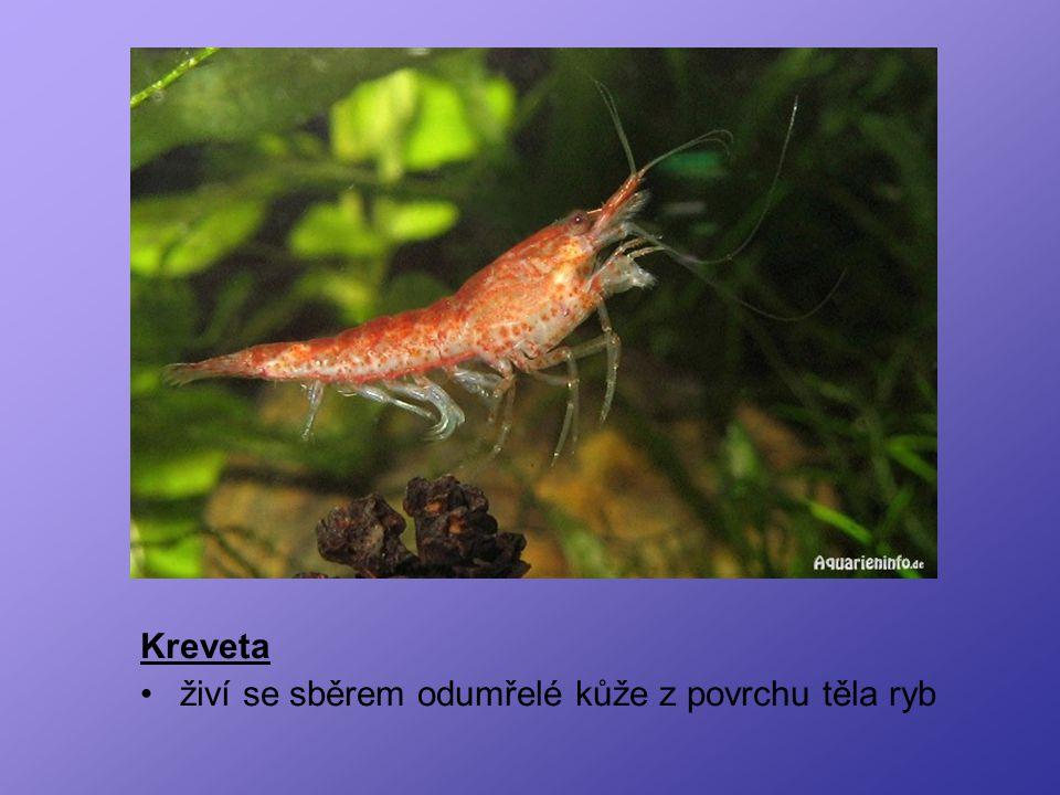 Korýši Kreveta živí se sběrem odumřelé kůže z povrchu těla ryb