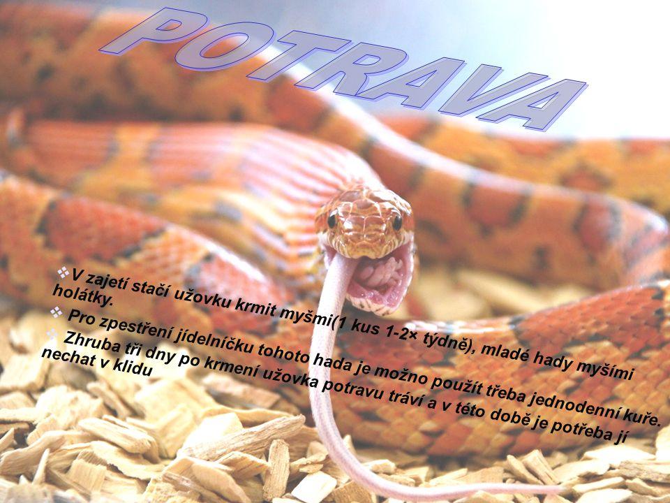 POTRAVA V zajetí stačí užovku krmit myšmi(1 kus 1-2× týdně), mladé hady myšími holátky.