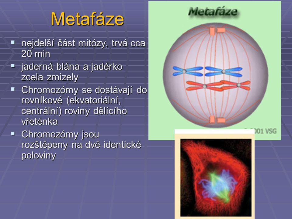 Metafáze nejdelší část mitózy, trvá cca 20 min