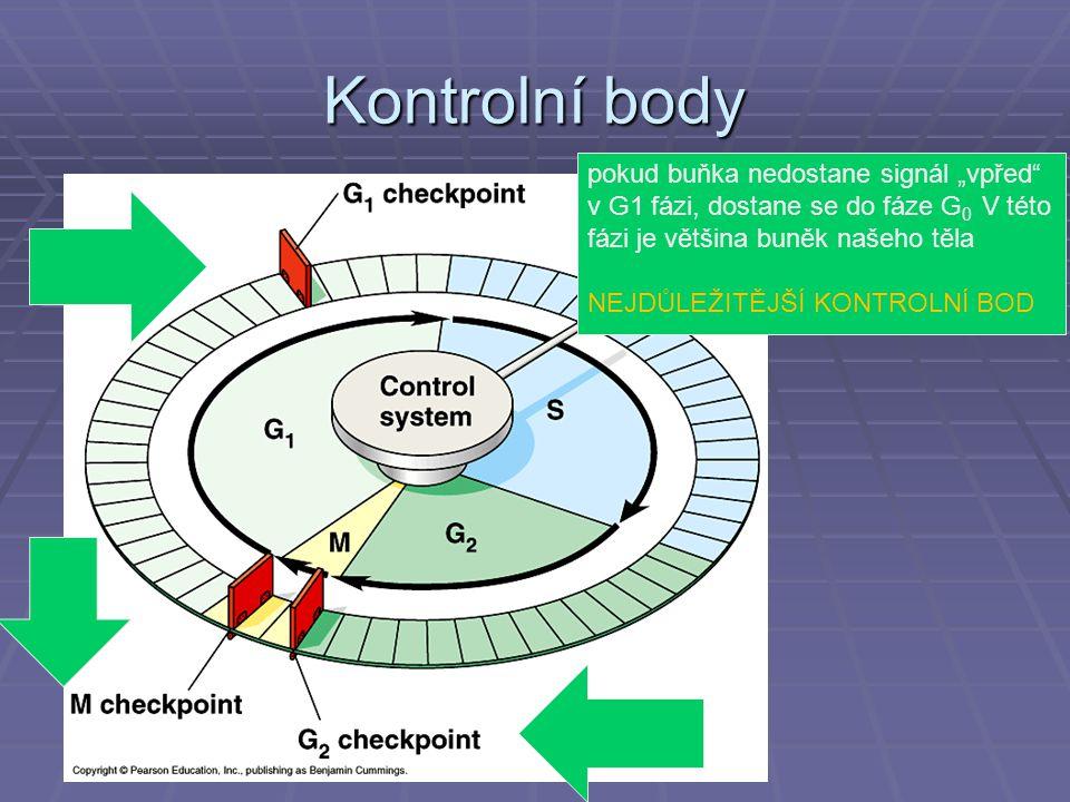 """Kontrolní body pokud buňka nedostane signál """"vpřed v G1 fázi, dostane se do fáze G0 V této fázi je většina buněk našeho těla."""