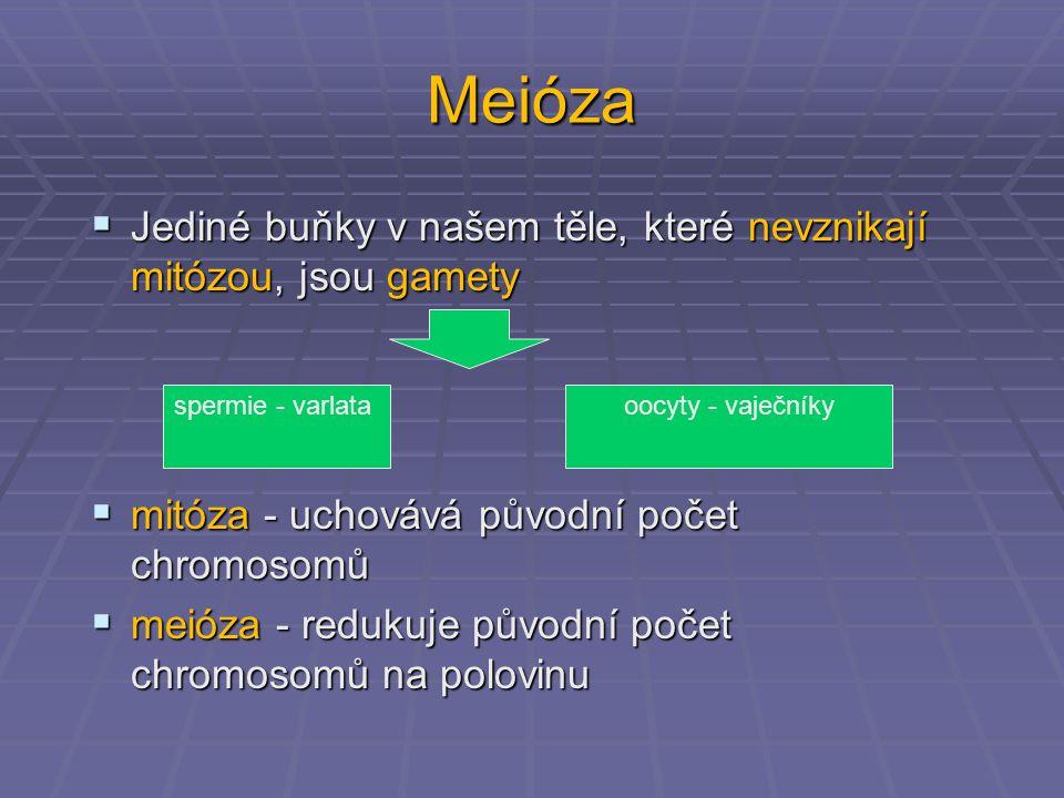 Meióza Jediné buňky v našem těle, které nevznikají mitózou, jsou gamety. mitóza - uchovává původní počet chromosomů.