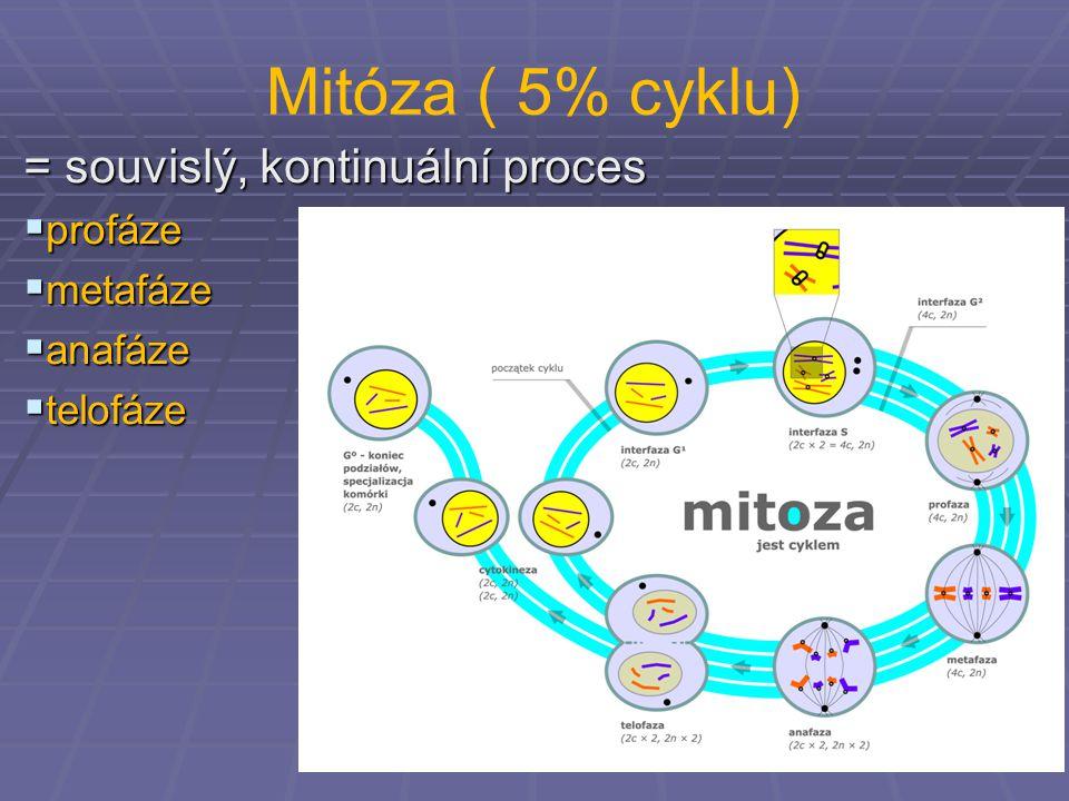 Mitóza ( 5% cyklu) = souvislý, kontinuální proces profáze metafáze