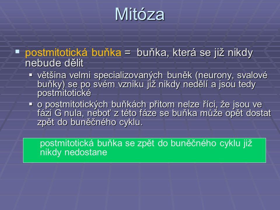 Mitóza postmitotická buňka = buňka, která se již nikdy nebude dělit