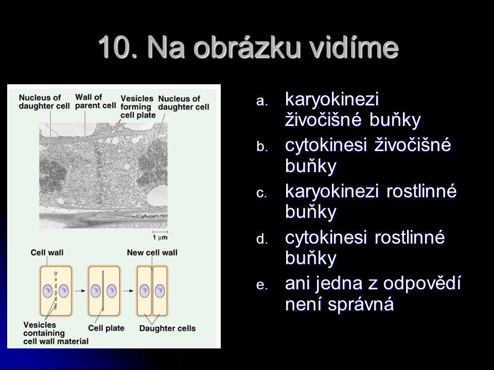 10. Na obrázku vidíme karyokinezi živočišné buňky