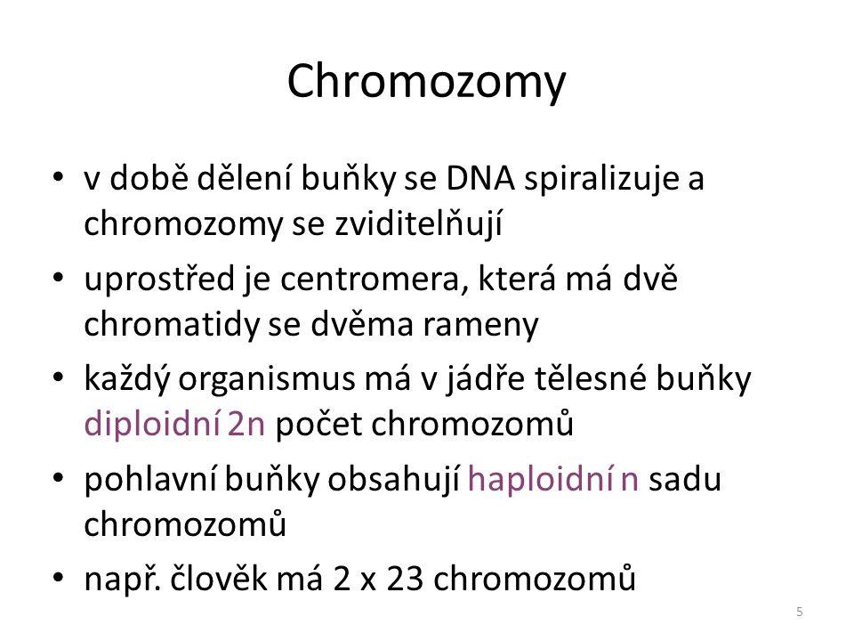 Chromozomy v době dělení buňky se DNA spiralizuje a chromozomy se zviditelňují. uprostřed je centromera, která má dvě chromatidy se dvěma rameny.