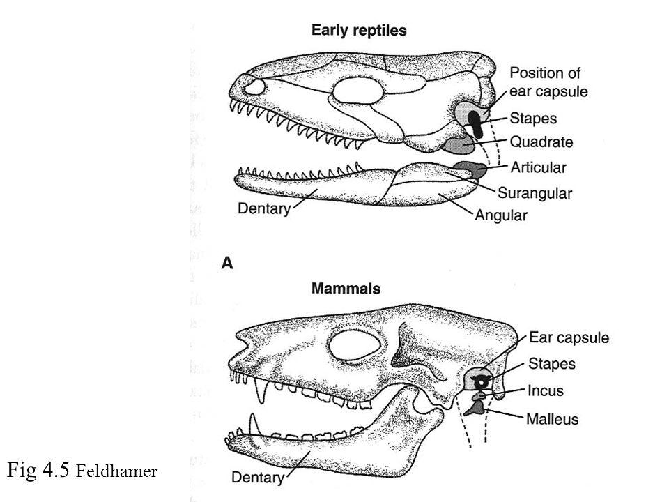 Fig 4.5 Feldhamer