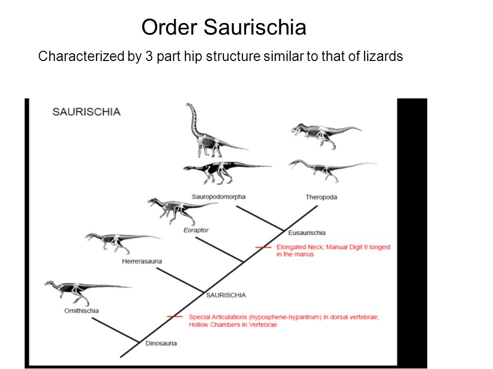 Order Saurischia Characterized by 3 part hip structure similar to that of lizards