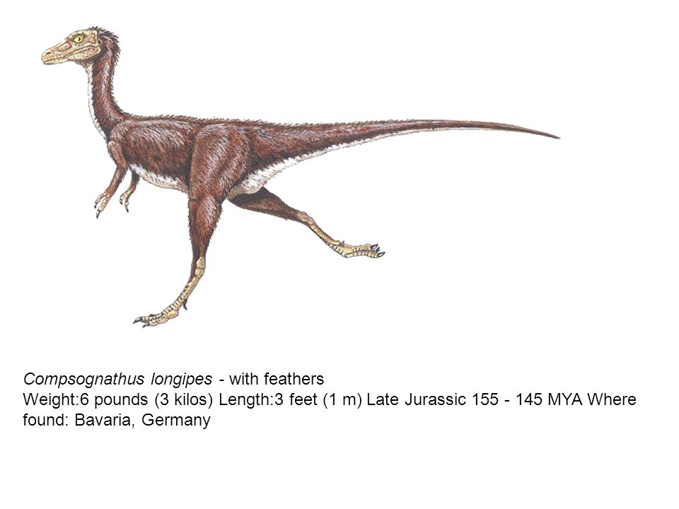 Compsognathus longipes - with feathers