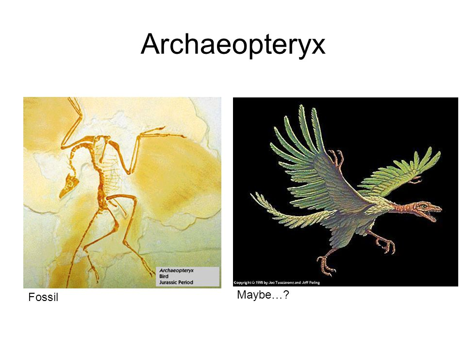 Archaeopteryx Fossil Maybe…