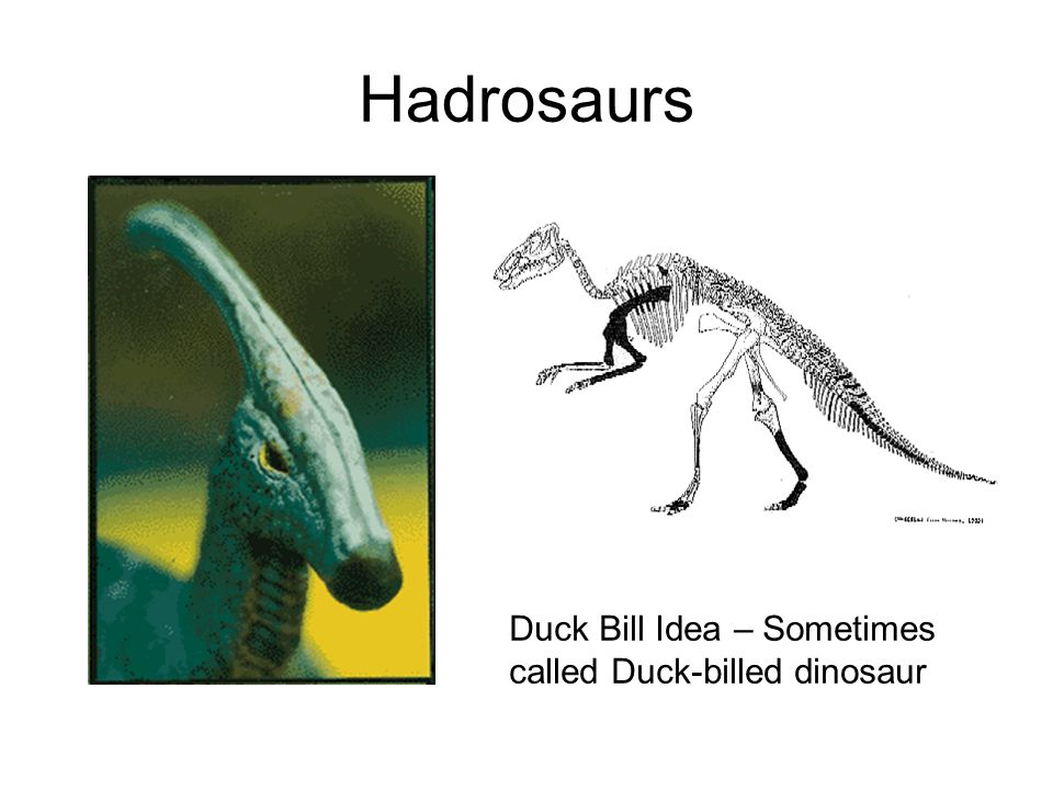 Hadrosaurs Duck Bill Idea – Sometimes called Duck-billed dinosaur