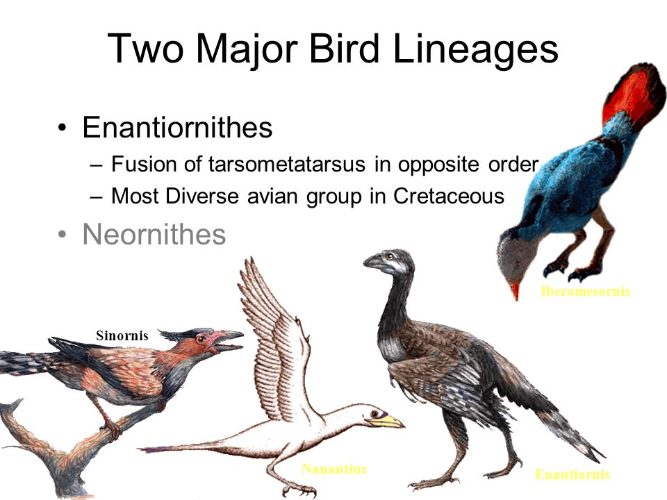 Two Major Bird Lineages