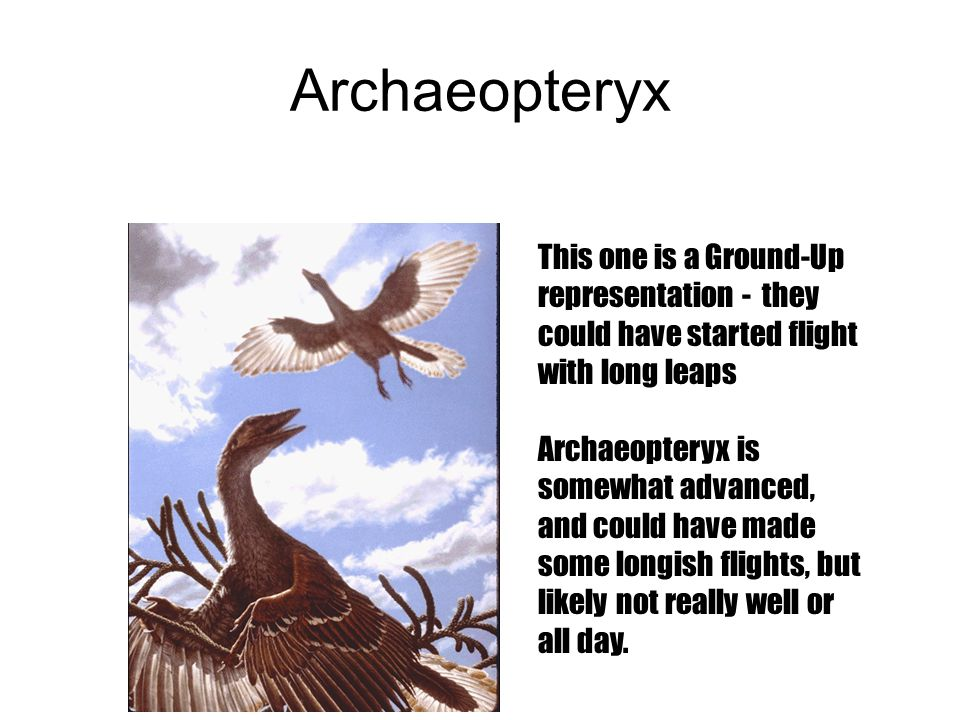 Archaeopteryx This one is a Ground-Up representation - they could have started flight with long leaps.