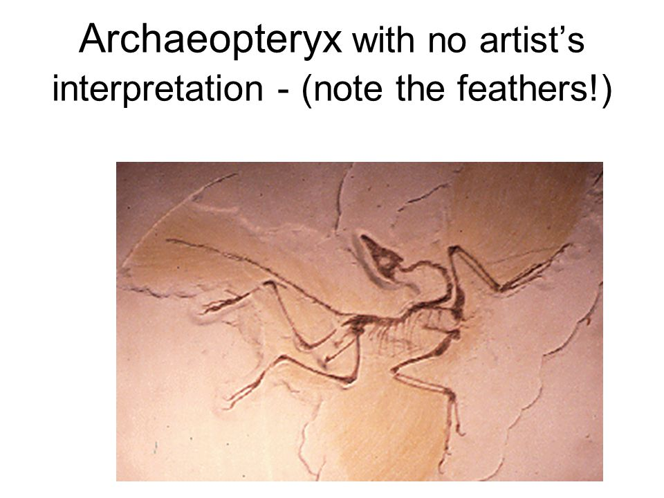 Archaeopteryx with no artist's interpretation - (note the feathers!)