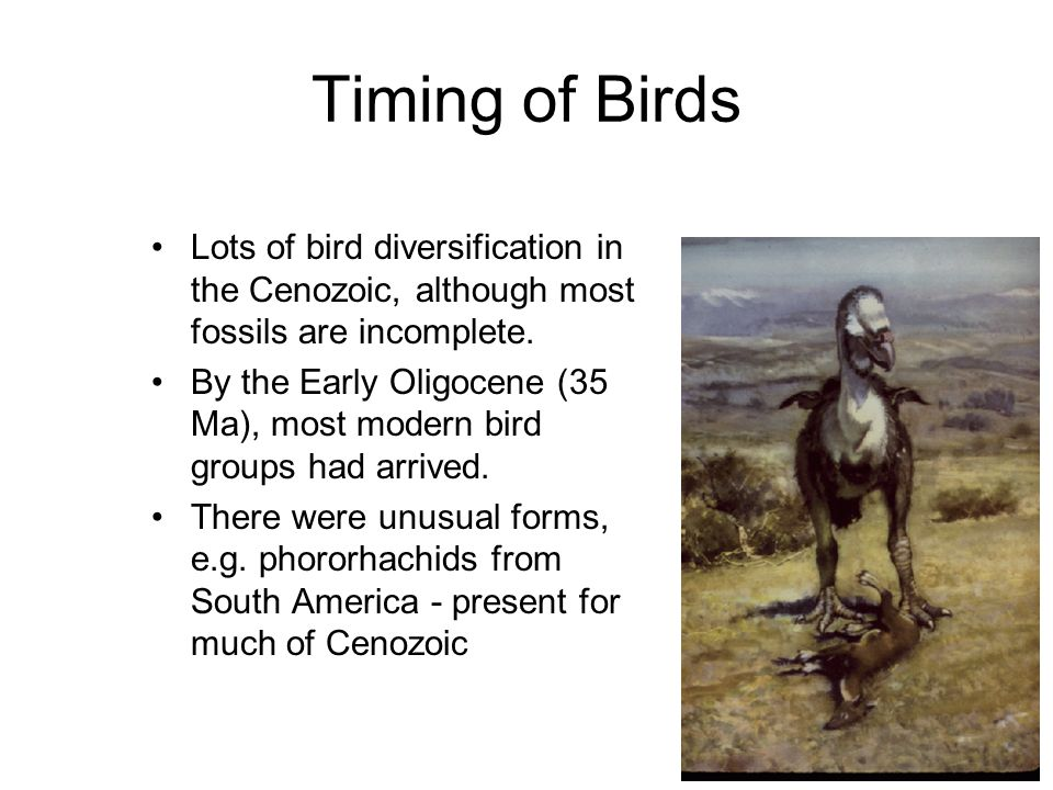 Timing of Birds Lots of bird diversification in the Cenozoic, although most fossils are incomplete.