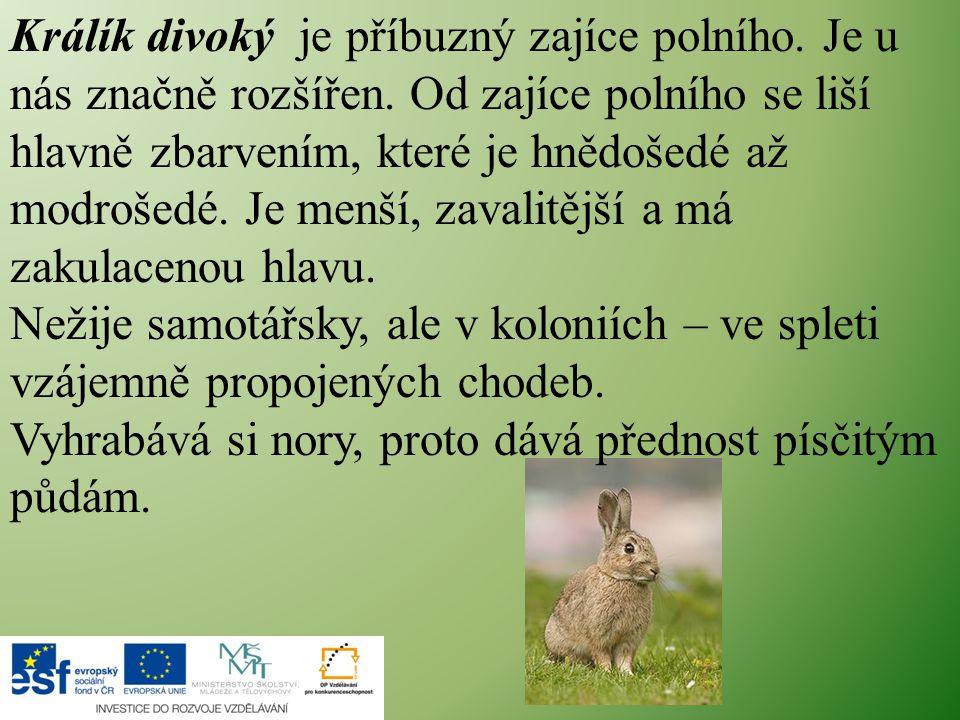 Králík divoký je příbuzný zajíce polního. Je u nás značně rozšířen