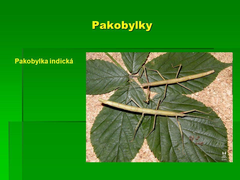 Pakobylky Pakobylka indická