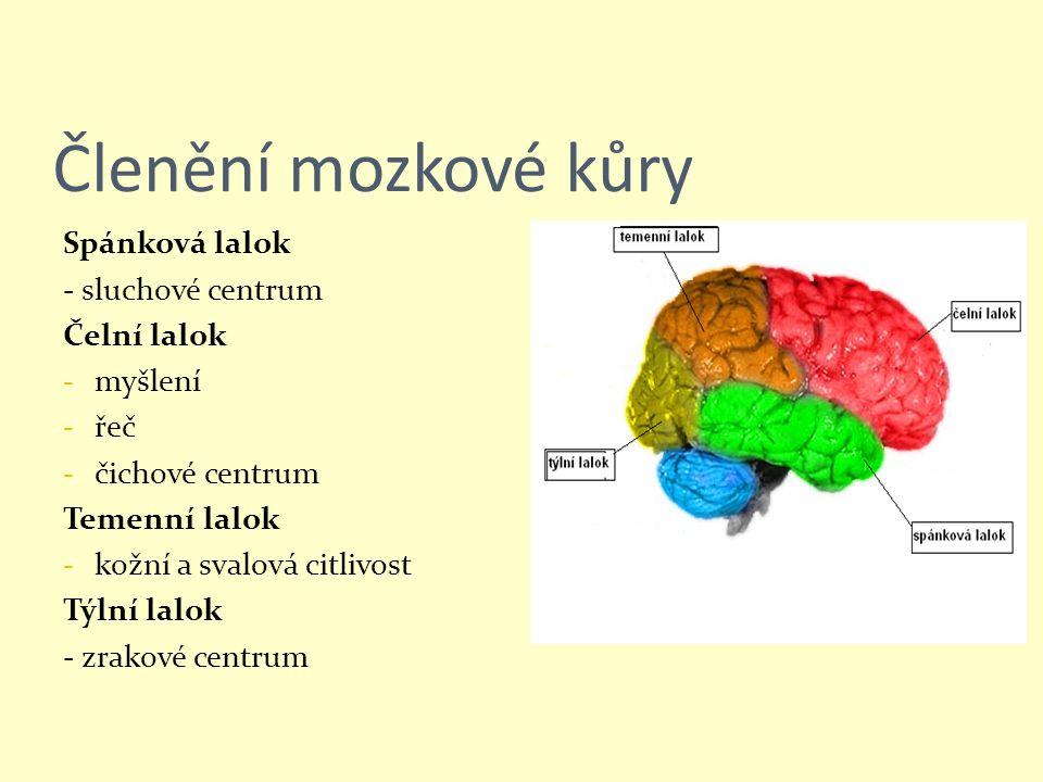 Členění mozkové kůry Spánková lalok - sluchové centrum Čelní lalok