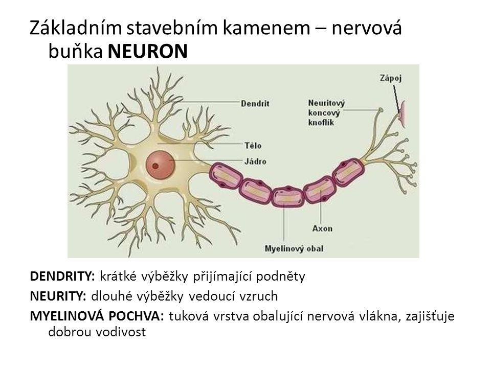 Základním stavebním kamenem – nervová buňka NEURON