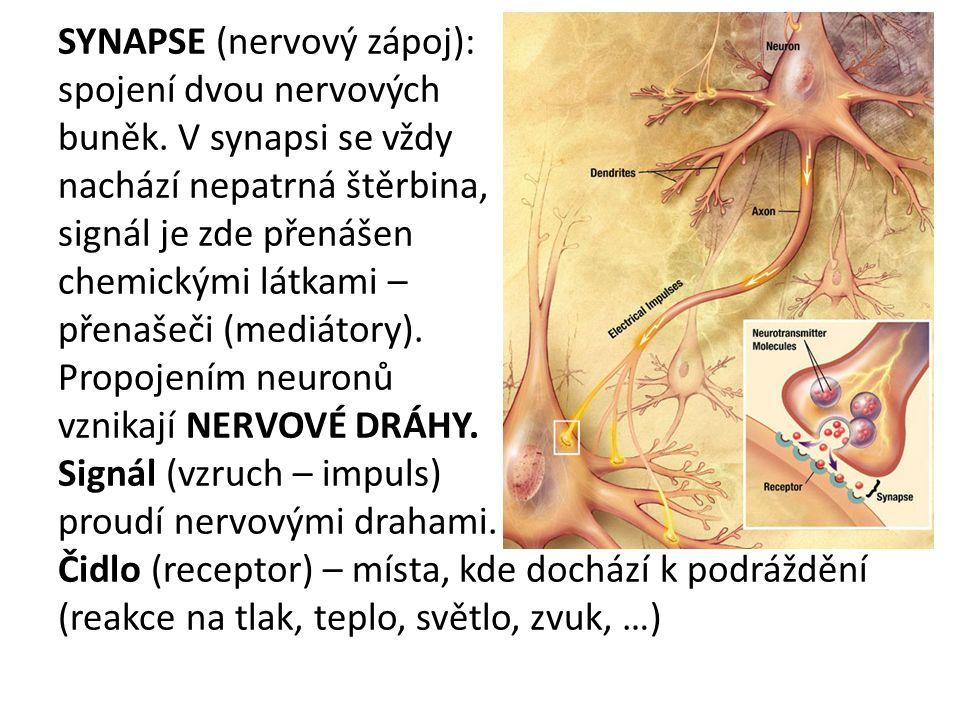 SYNAPSE (nervový zápoj): spojení dvou nervových buněk