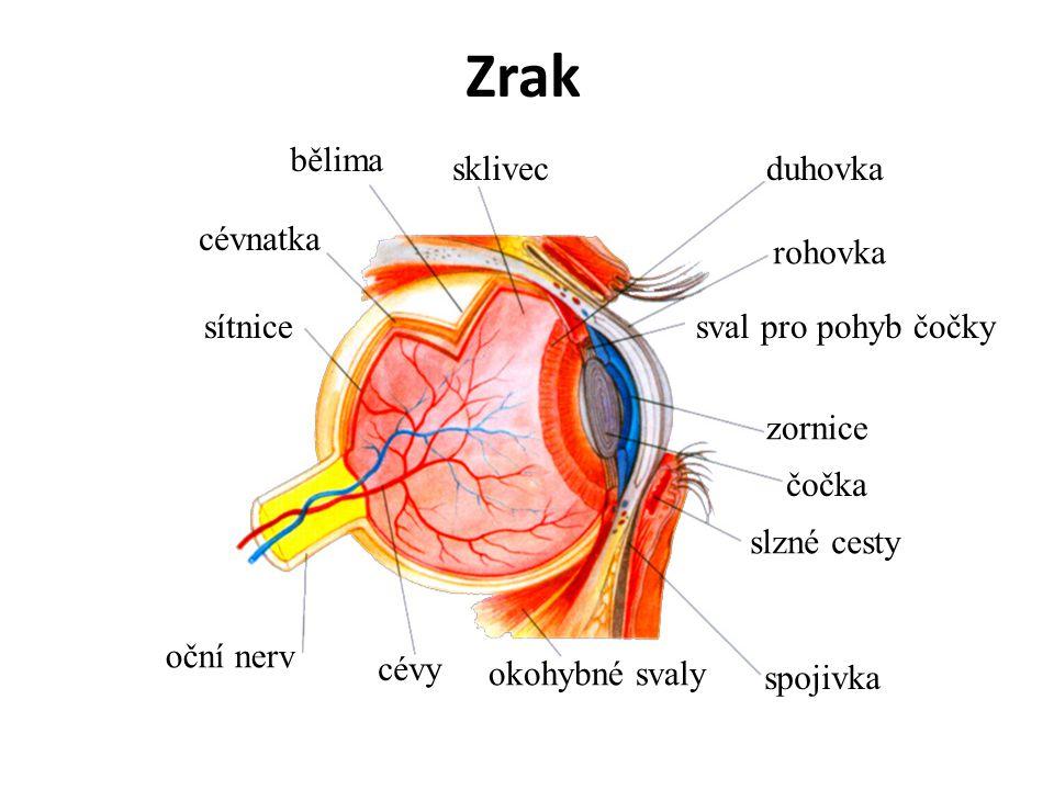 Zrak bělima sklivec duhovka cévnatka rohovka sítnice