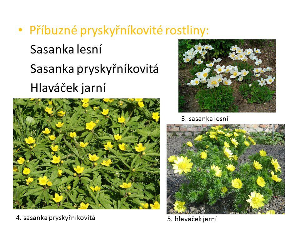Příbuzné pryskyřníkovité rostliny: Sasanka lesní