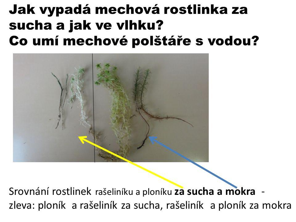 Jak vypadá mechová rostlinka za sucha a jak ve vlhku