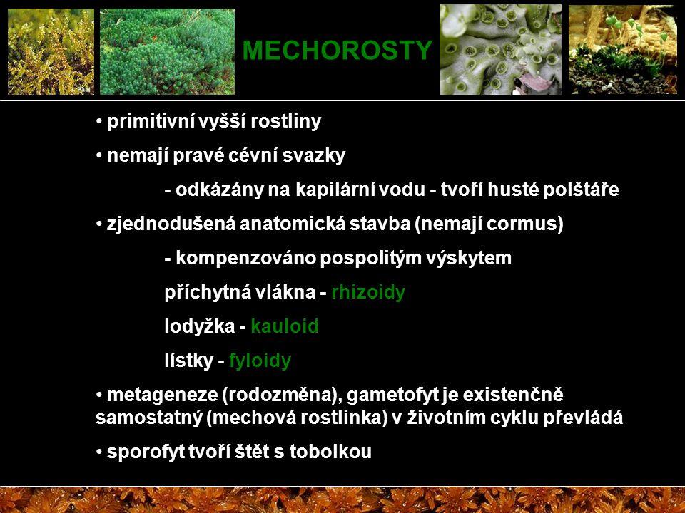 MECHOROSTY primitivní vyšší rostliny nemají pravé cévní svazky