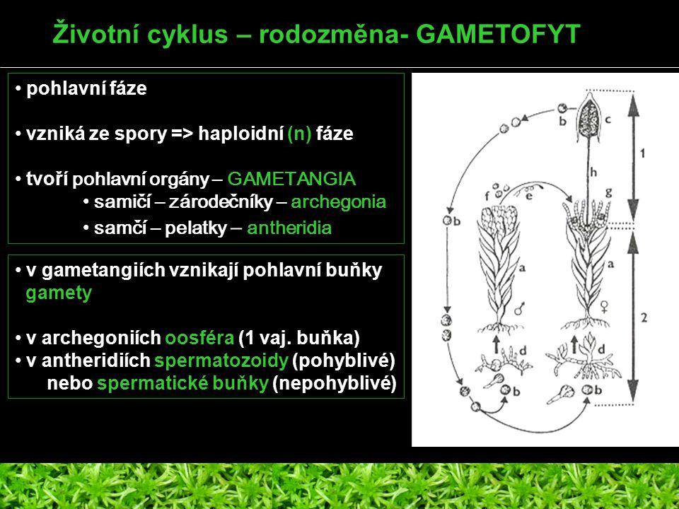Životní cyklus – rodozměna- GAMETOFYT