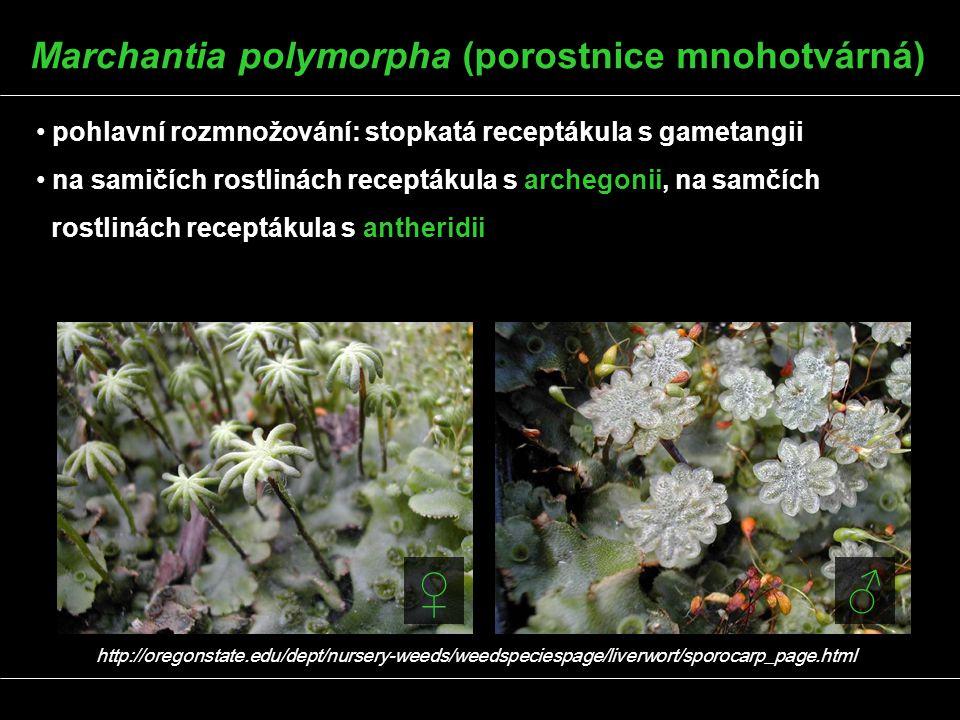 Marchantia polymorpha (porostnice mnohotvárná)