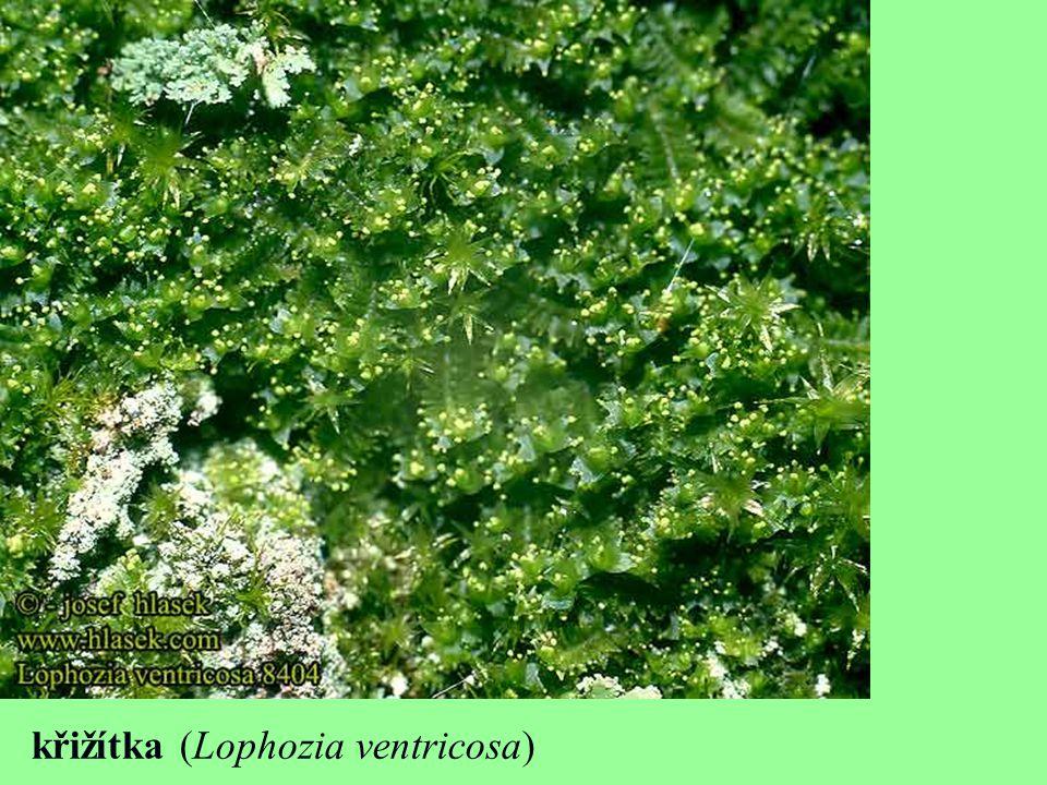 křižítka (Lophozia ventricosa)