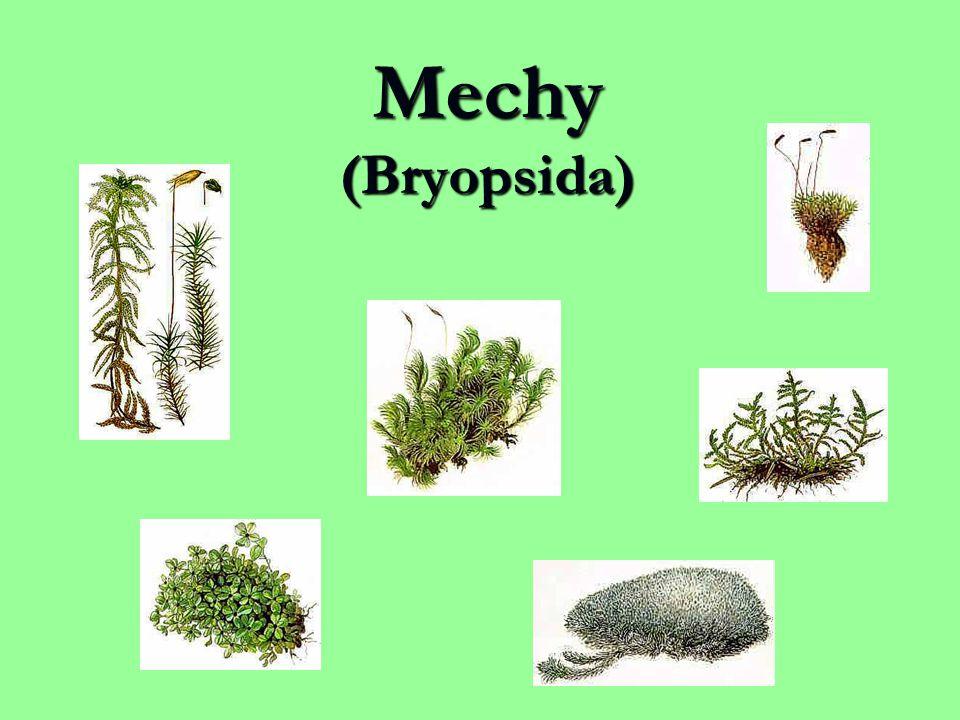 Mechy (Bryopsida)