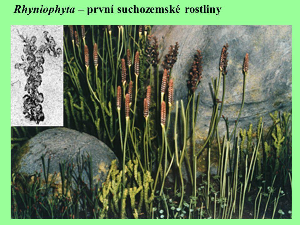 Rhyniophyta – první suchozemské rostliny