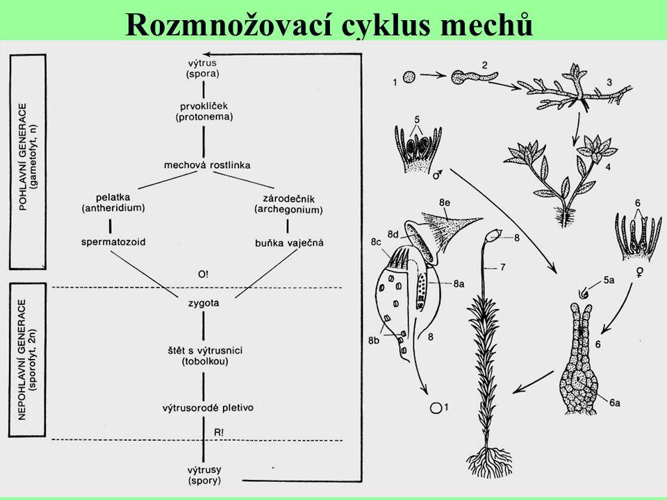 Rozmnožovací cyklus mechů