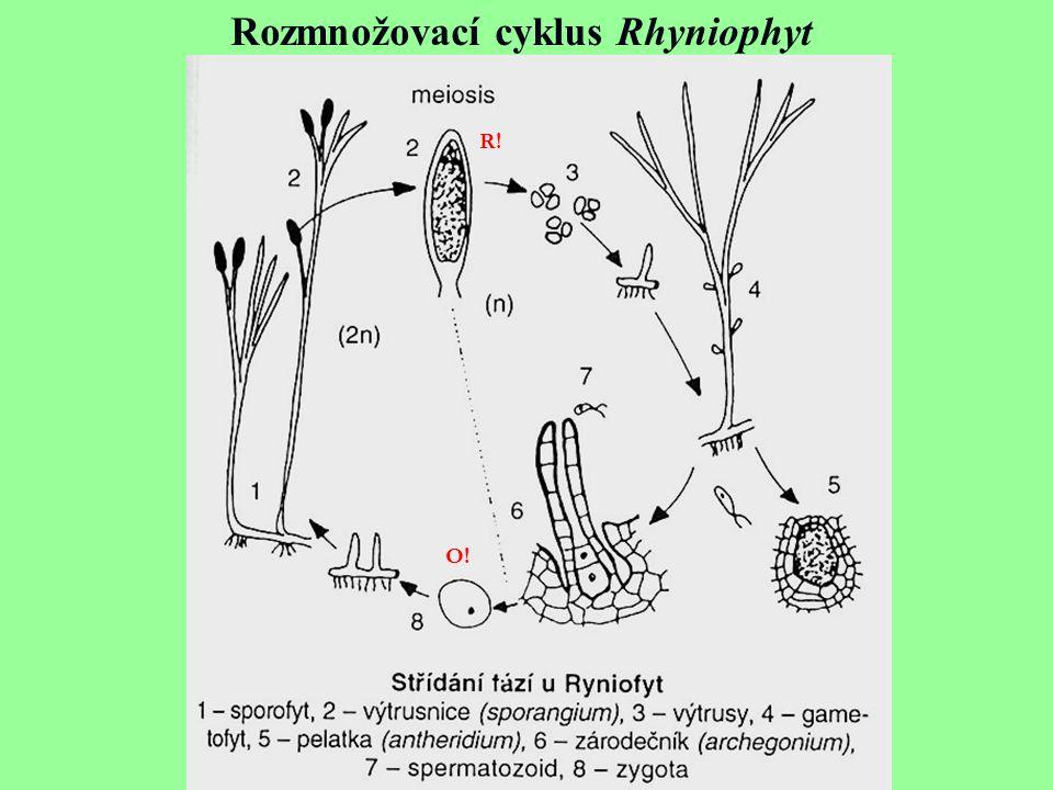 Rozmnožovací cyklus Rhyniophyt