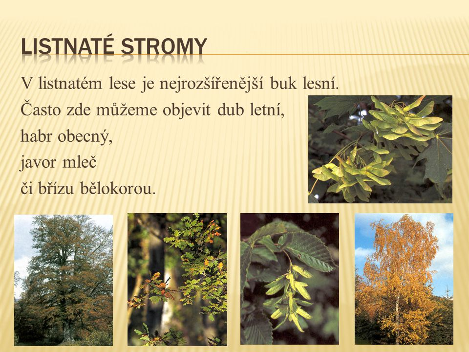 Listnaté stromy V listnatém lese je nejrozšířenější buk lesní.