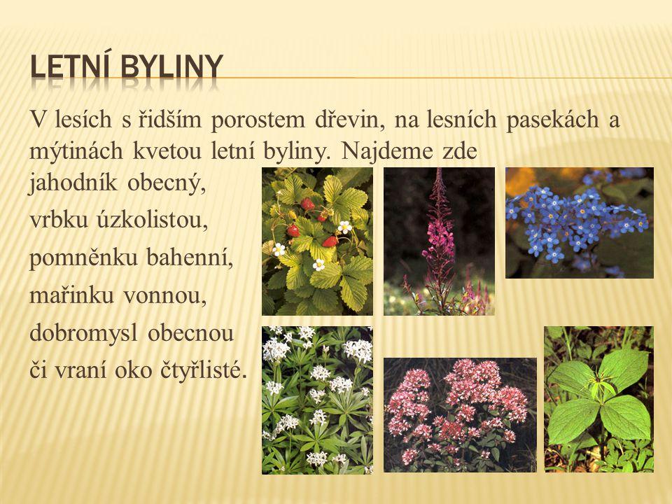 Letní byliny