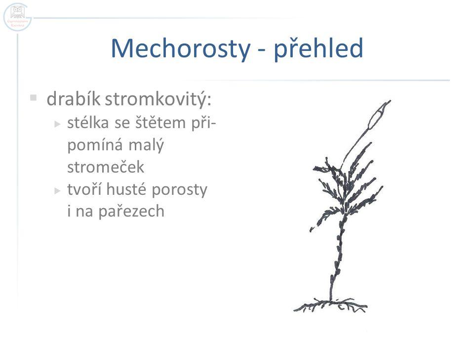 Mechorosty - přehled drabík stromkovitý: