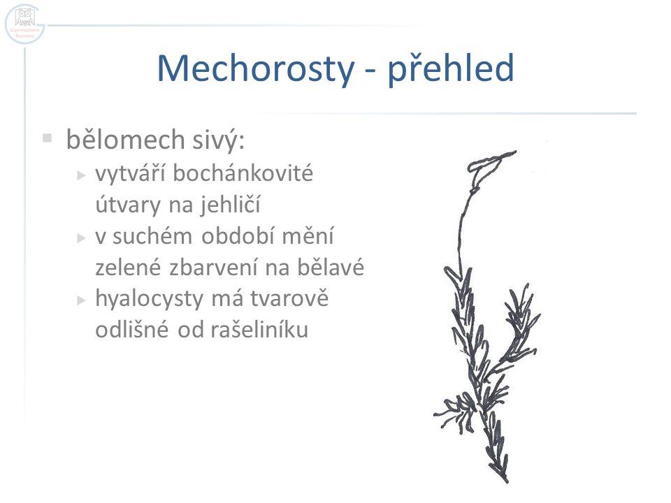Mechorosty - přehled bělomech sivý: