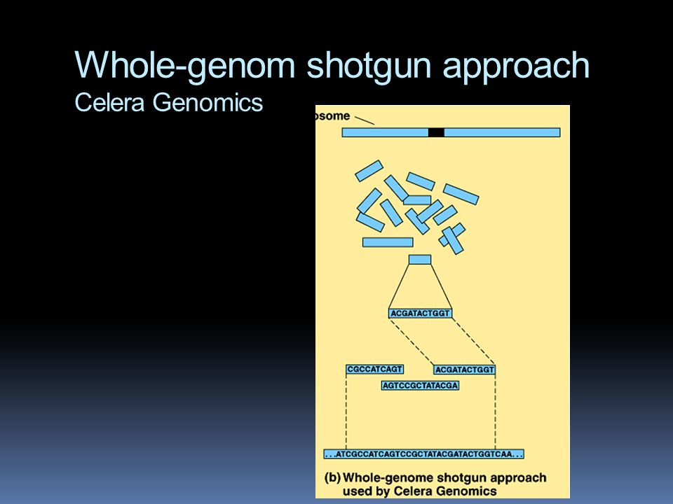 Whole-genom shotgun approach Celera Genomics