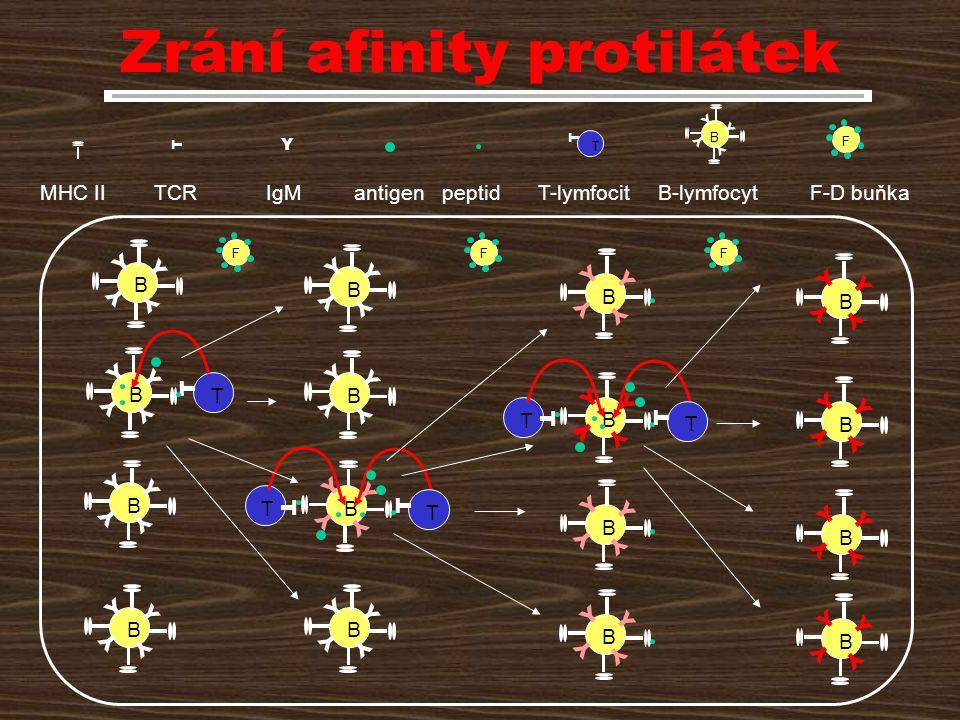 Zrání afinity protilátek
