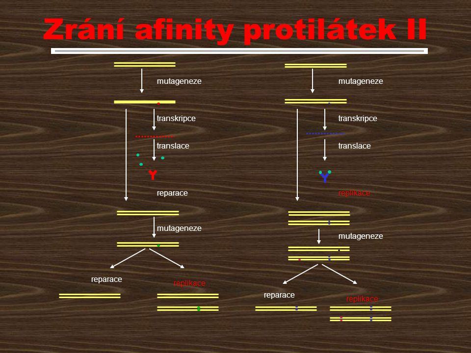 Zrání afinity protilátek II